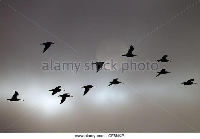 Curlews Numenius arquata evening flight - Stock Image