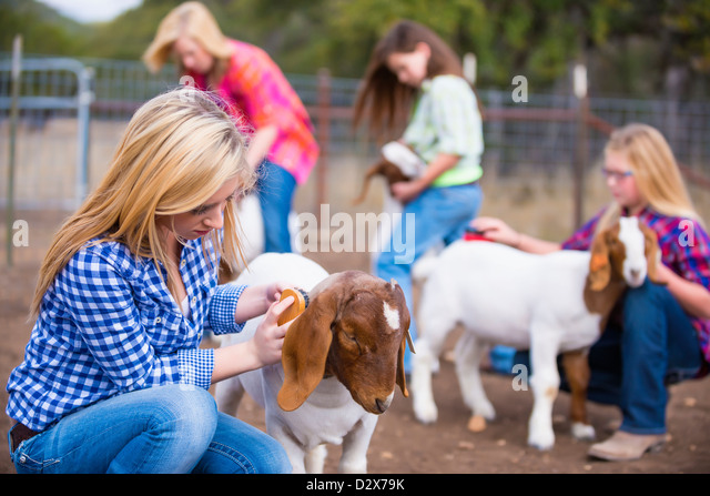 Group of young girls grooming goats on a farm - Stock Image
