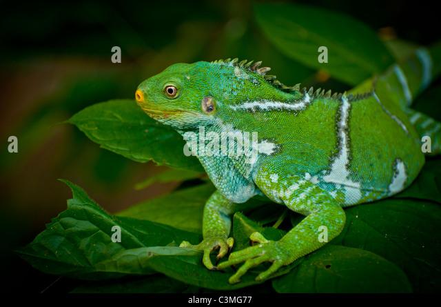 Crested Iguana, Kula Eco Park Sigatoka, Coral Coast ,Viti Levu Island Fiji - Stock-Bilder