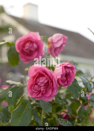 a clump of red roses growing cottage side - Stock Image