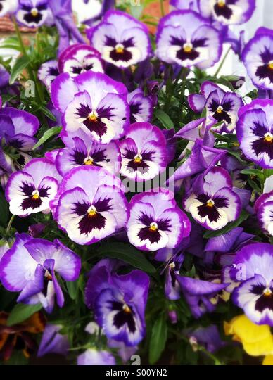 Purple pansy flowers - Stock Image