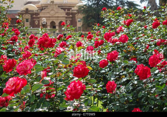 Los Angeles California CA L.A. Downtown LA Exposition Park Rose Garden historic sunken garden flower rose bush - Stock Image