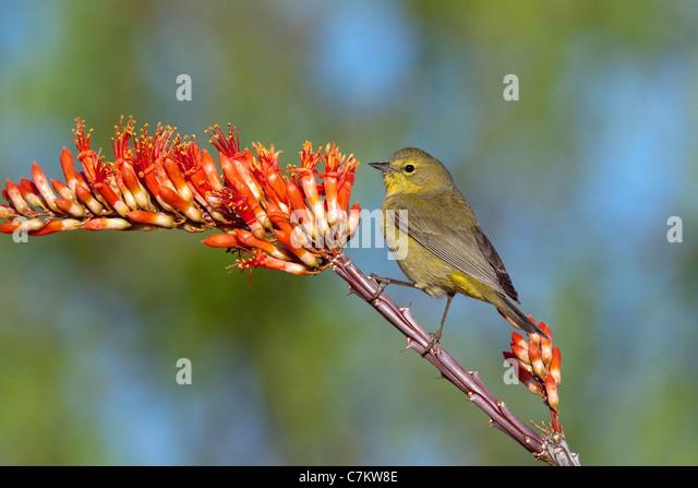 Orange-crowned Warbler Vermivora celata Amado, Santa Cruz County, Arizona, USA Adult on Ocotillo (Fonquieria splendens). - Stock-Bilder