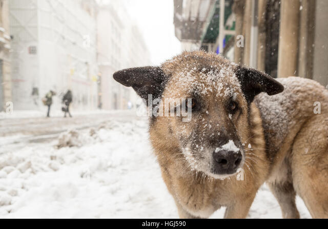 Homeless stray dog in Istiklal Street under heavy snowfall - Stock Image