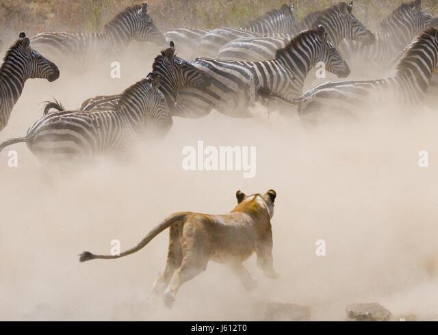 Lioness attack on a zebra. National Park. Kenya. Tanzania. Masai Mara. Serengeti. An excellent illustration. - Stock Image