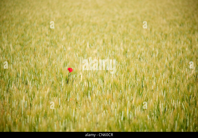 Poppies near Lacoste Vaucluse Provence Alpes Cote D Azur France - Stock Image