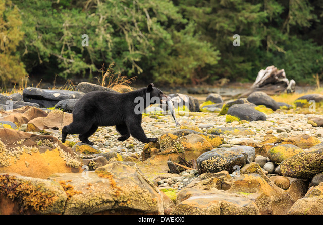 A black bear carries his freshly caught fish along the coastal beach on Vancouver Island. - Stock Image