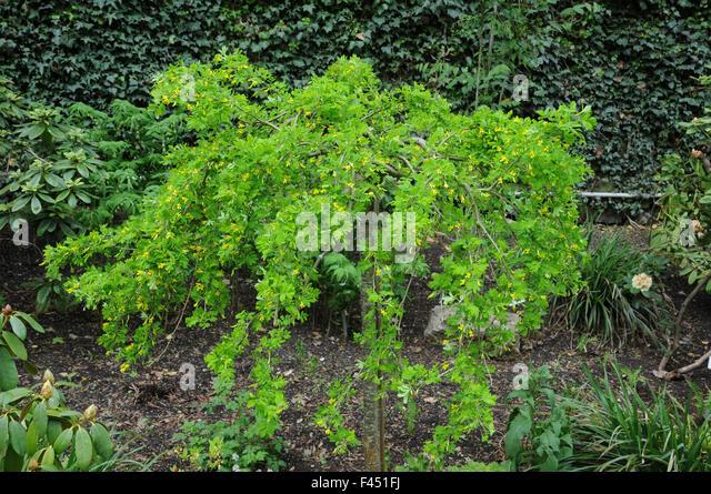 Weeping peashrub - Stock Image