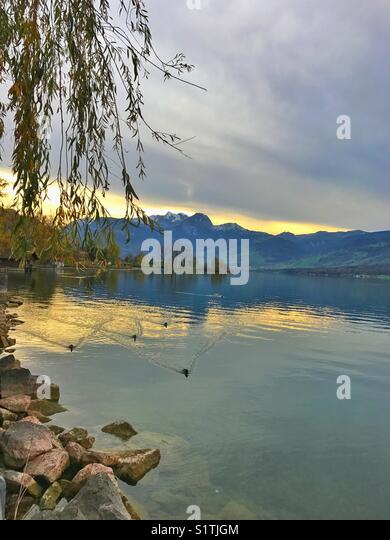 Ducks swimming in the lake at sunset - Stock Image