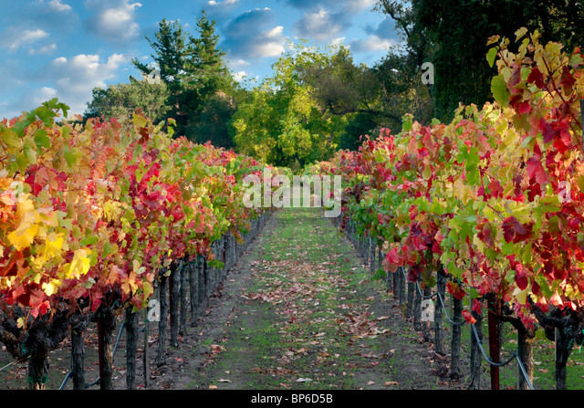 Rows of fall colored grapes. Vineyards of Napa Valley, California A sky has been added - Stock Image