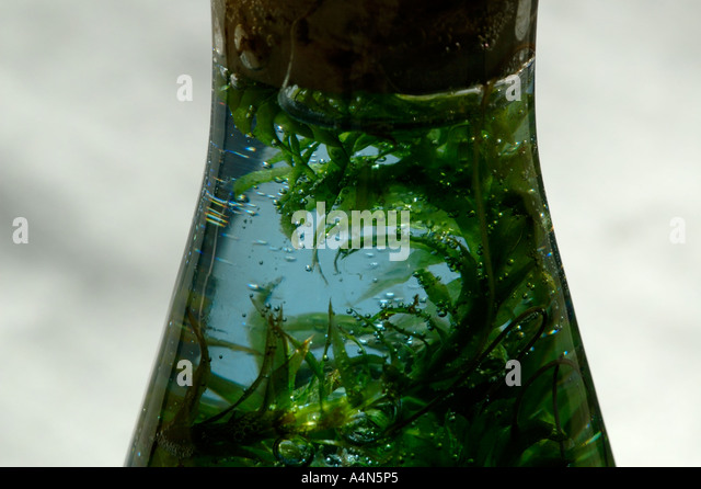 Aquatic plant, Elodea, in flask of bromthymol blue indicator for carbon dioxide, students experiment on photosynthesis - Stock Image