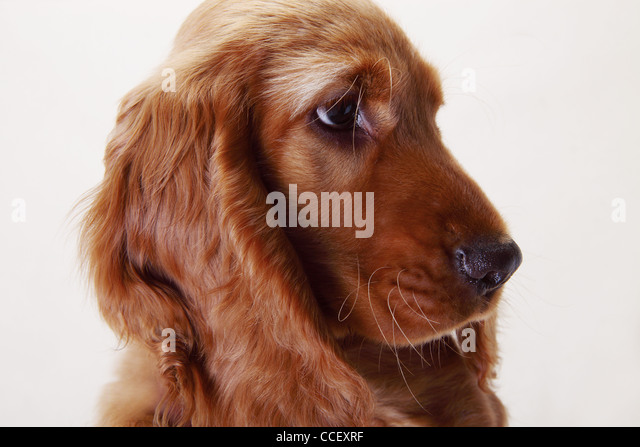 A Working Cocker Spaniel, side view - Stock Image