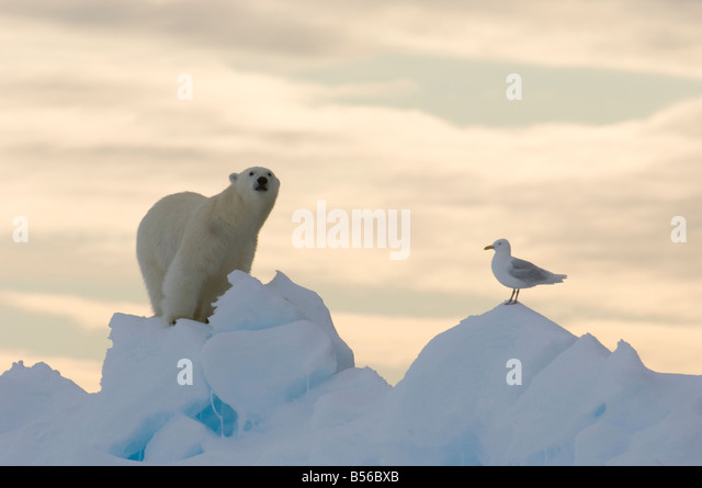 Young male polar bear at the floe edge with Arctic sea gull Lancaster Sound Nunavut Canada Arctic - Stock-Bilder