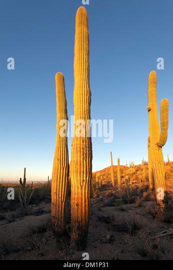 Giant Saguaro Cactus (Carnegiea gigantea), Saguaro West National Park, Tucson, Arizona - Stock-Bilder