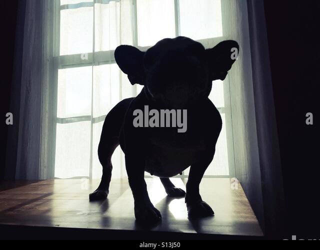 Silhouette of a french bulldog. - Stock Image