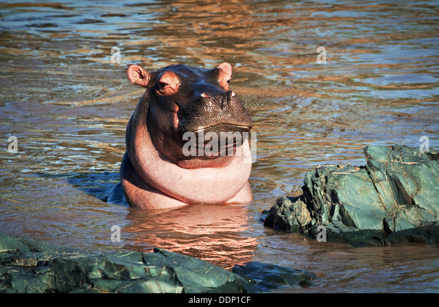 Hippo, hippopotamus in river portrait. Serengeti, Tanzania, Africa - Stock-Bilder