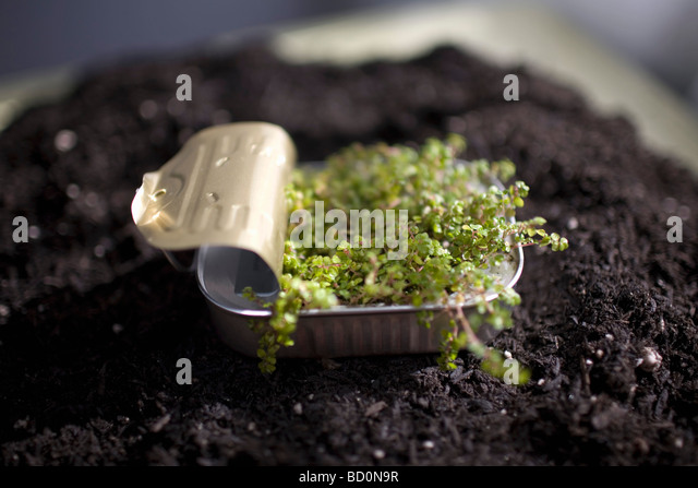 Plant sprouting in sardine can - Stock Image