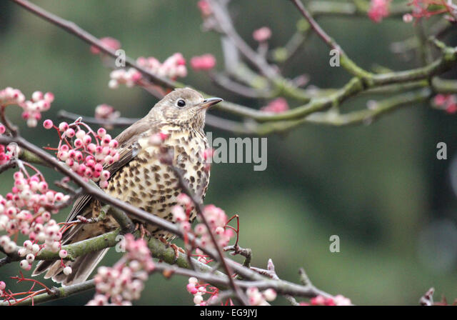 Mistle thrush. London UK - Stock Image