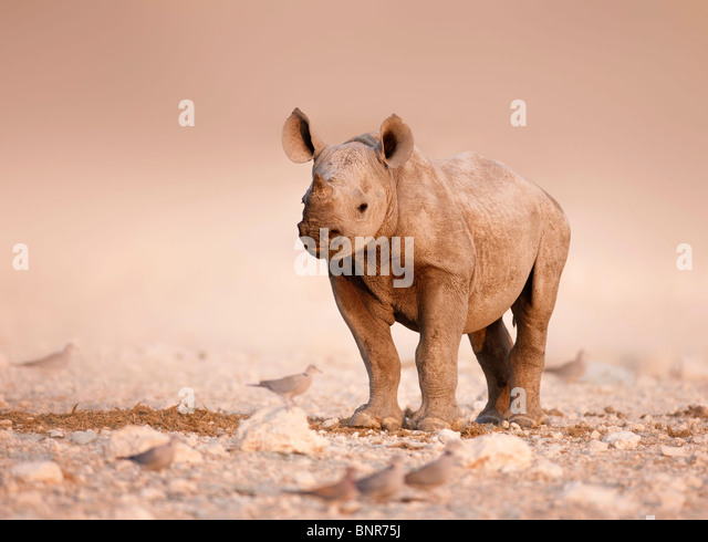 Baby Black Rhinoceros standing alone on salty plains of Etosha (Namibia) - Stock Image