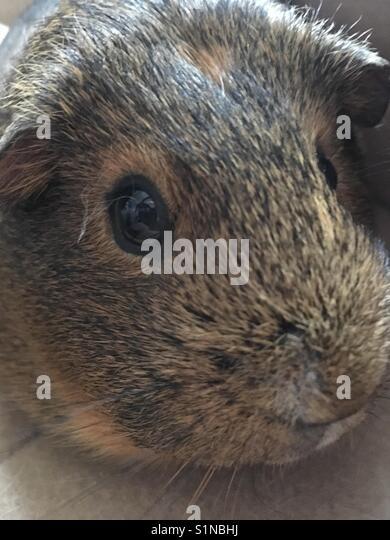 Guinea pig face - Stock Image
