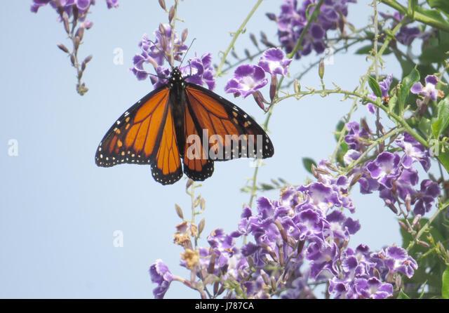 MONARCH BUTTERFLY  Danaus plexippus (male) Photo: Tony Gale - Stock-Bilder