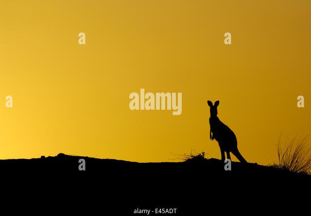 Eastern Grey Kangaroo (Macropus giganteus) silhouette on coal mine site, Australia, 2006 - Stock Image