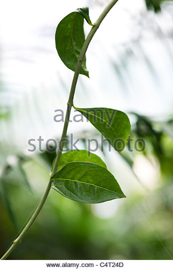 Lawsonia Inermis . Henna leaves - Stock Image