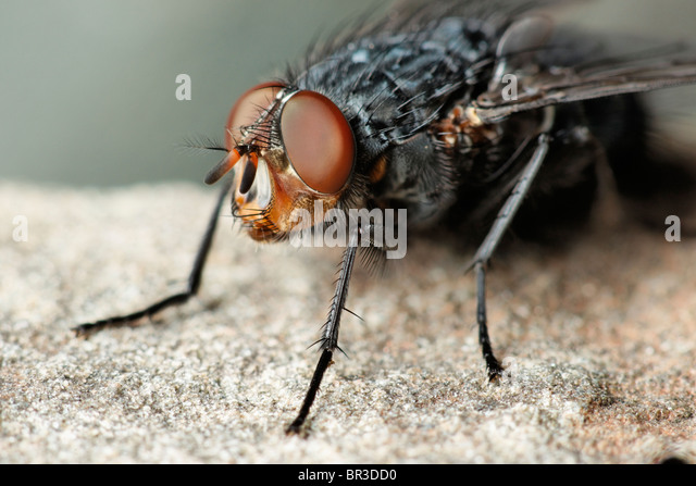 A Fly. Possibly a Common Flesh Fly, Sarcophaga carnaria - Stock Image