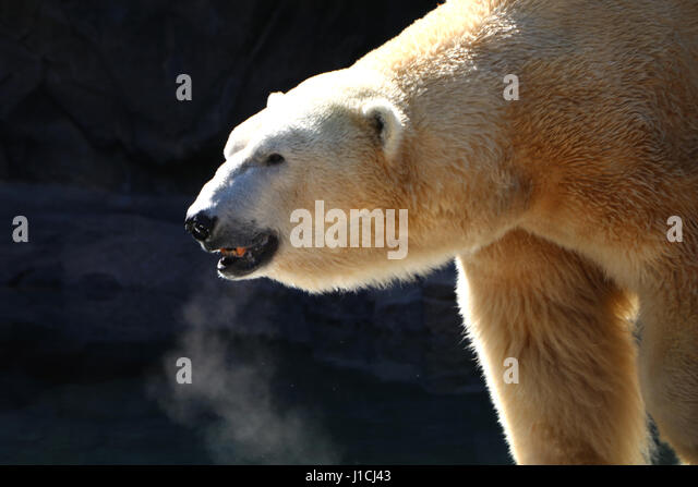 Polar bear Cincinnati Zoo with breath condensation - Stock Image