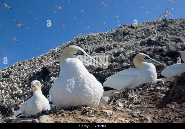 Northern gannet photographed on Bass Rock, Scotland - Stock Image