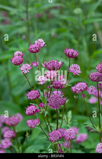 Delicate flowers of Astrantia 'Hadspen Blood' - Stock Image