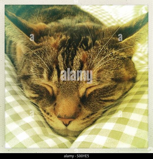 Sleeping tabby cat - Stock Image