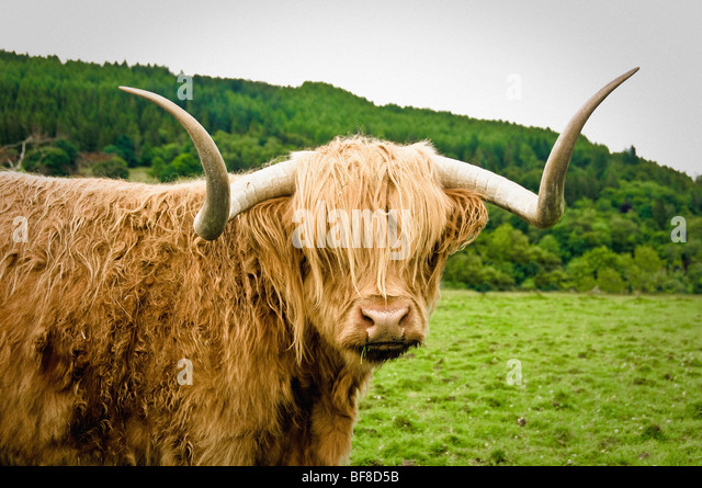 Close-up of Highland Cow in field - Stock Image