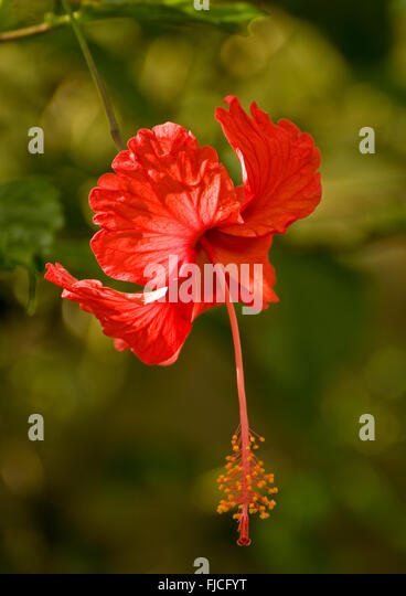 Red Hibiscus Flower in rainforest jungle setting, Costa Rica - Stock Image