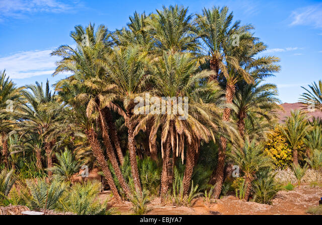 Date Palm Oases Stock Photos Date Palm Oases Stock