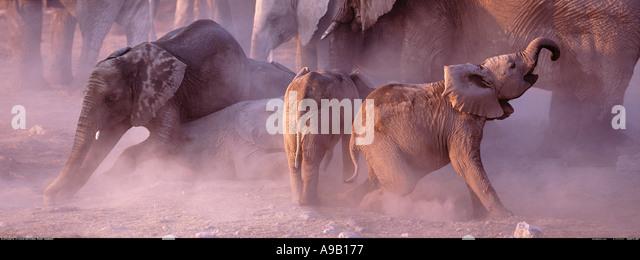 Young elephants in the dust Etosha National Park Namibia - Stock Image