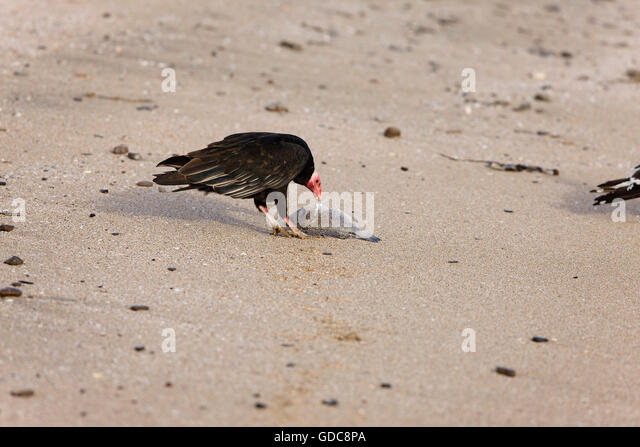 Adult Turkey Vulture Cathartes Aura Stock Photos & Adult ...