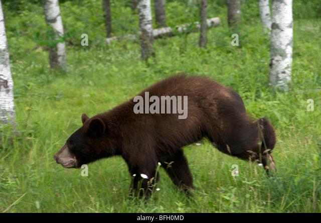 A wild male Black Bear (Ursus americanus) running in Sleeping Giant Provincial Park, Ontario, Canada - Stock-Bilder