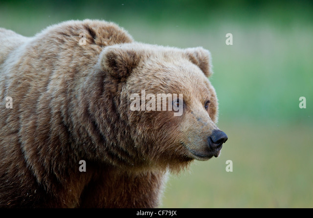Alaskan brown bear - Stock Image