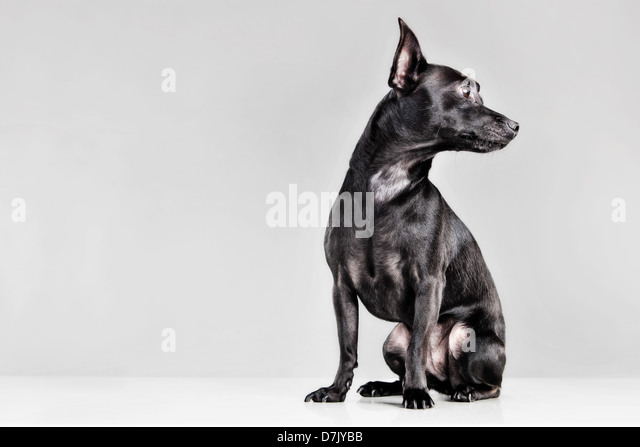 Portrait of black chihuahua in studio looking away - Stock Image
