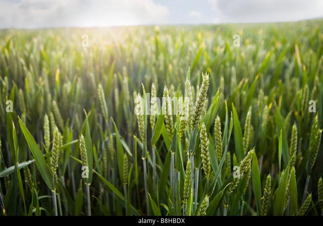 Close up shot of Barley field - Stock Image