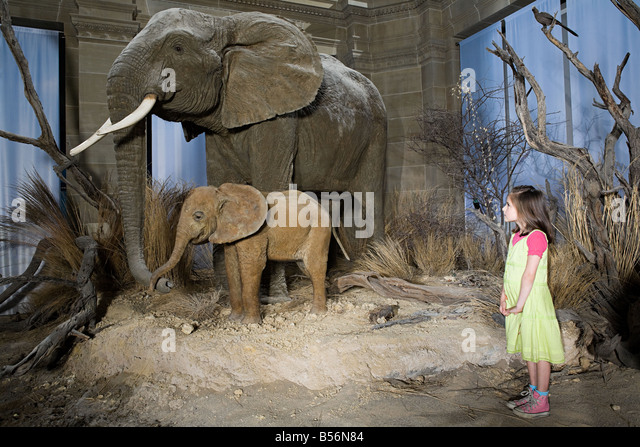 Girl looking at elephants in a museum - Stock Image