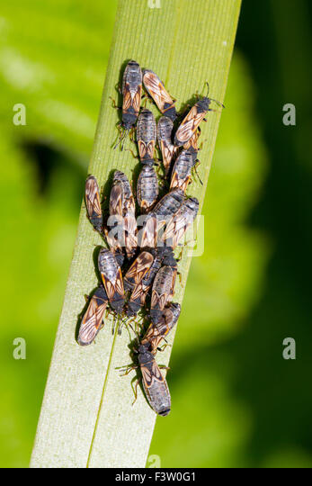 European Chinchbug (Ischnodemus sabuleti) cluster of adult bugs on a bulrush leaf. Powys, Wales. May. - Stock Image