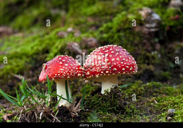 The Netherlands, Denekamp, Estate Singraven. Autumn. Fly Fungus. Amanita Muscaria. - Stock Image