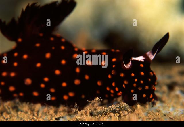 Hypselodoris ghiselini - Stock Image