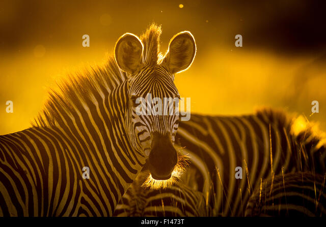 Crawshay's zebra (Equus quagga crawshayi) in evening light, South Luangwa National Park, Zambia. March. - Stock Image