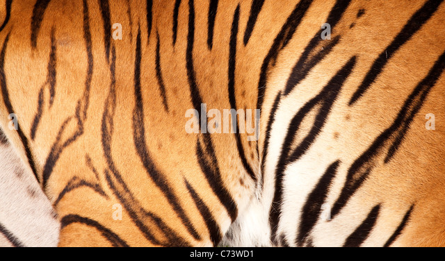 A tiger fur - Stock Image