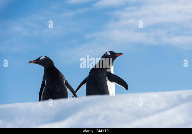 Gentoo Penguin (Pygoscelis papua) penguins on a floating iceberg, Antarctic Peninsula, Antarctica - Stock Image