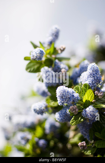 blue flowers - Stock Image