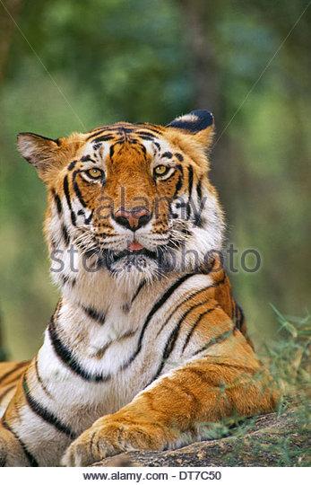 Bengal tiger Panthera tigris tigris Western Ghats India Western Ghats India - Stock Image